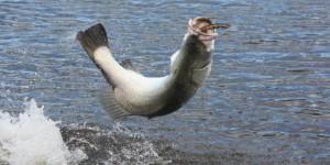 Barramundi-fishing