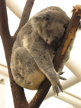 another sleepy koala