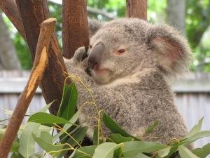 awake koala