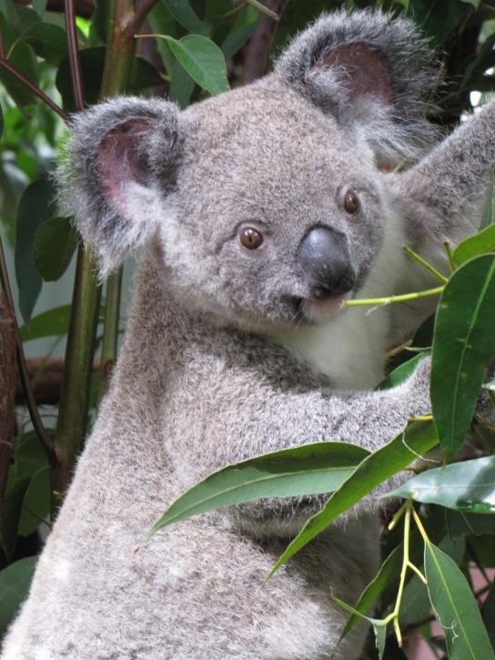 best koala shot