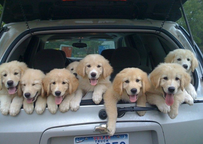 Puppies-in-the-car
